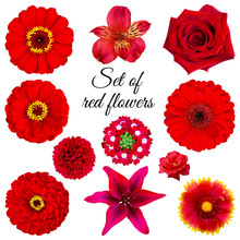Set Of Red Flowers: Zinnia, Ro...