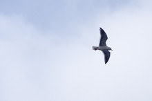 A Seagull Gliding In The Sky
