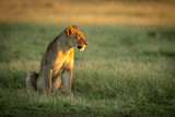 Fototapeta Sawanna - Lioness sits in tall grass staring right