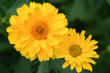 Coreopsis Duo Flower Heads In ...