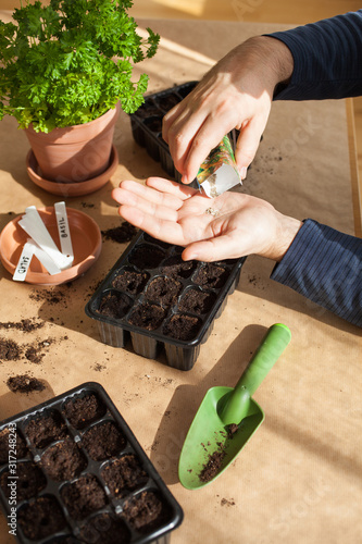 Obraz gardening, planting at home. man sowing seeds in germination box - fototapety do salonu