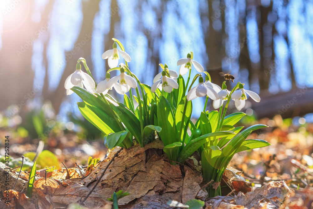 Fototapeta Blooming snowdrops (Galanthus nivalis) and their pollinating honey bee in early spring in the forest, closeup
