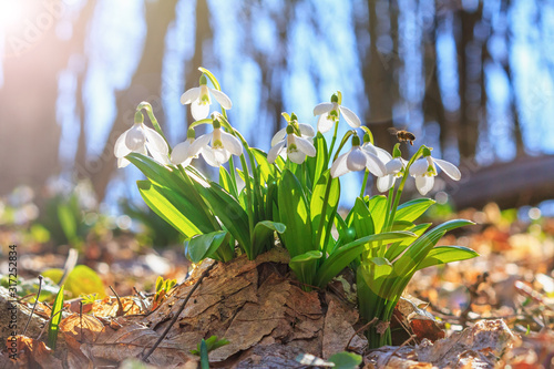 Obraz Blooming snowdrops (Galanthus nivalis) and their pollinating honey bee in early spring in the forest, closeup - fototapety do salonu