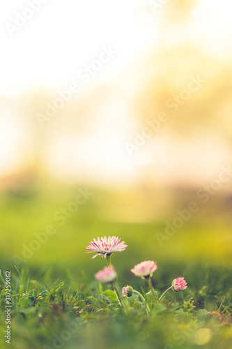 Beautiful nature closeup meadow flowers, blurred natural background, forest in soft sunlight. Sunset nature landscape.Spring flower in the meadow,spring nature background - 317259062
