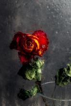 Dried Orange Rose. Beautiful F...
