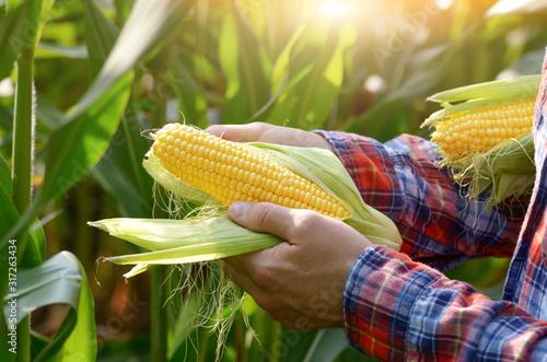 Vászonkép Harvest ready unwrapped corn cobs in farmer's hands
