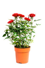 Red Roses In A Pot Isolated On White Background