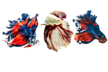 Siamese Fighting Fish.Multi Color Fighting Fish Isolated On Black Background.