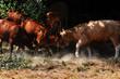 krowy, pastwisko, walka, słońce, walka o cień, cień