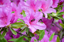 Beautiful Rhododendron Flowers And Bee In The Garden