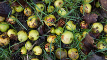 Rotting Crab Apples Lying On T...