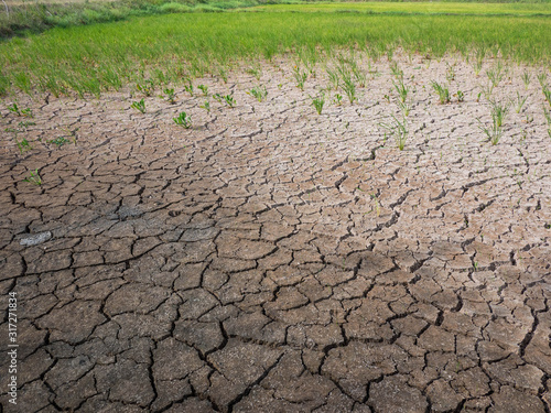 Obraz na plátně Parched and drought rice field during dry season