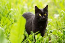 Beautiful Bombay Black Cat Wit...