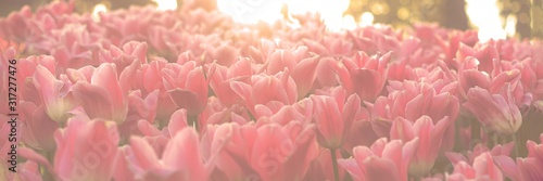 Spring tulip background. Canvas Print
