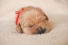 Golden Retriever Newborn Puppy