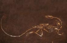 DINOSAURE Coelophysis Bauri