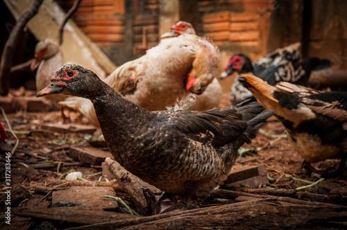 Ducks life in a brown dirt backyard Canvas Print