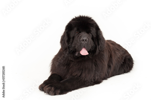 Obraz na płótnie Black newfoundland dog in studio
