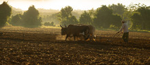 Oxen Ploughing Tobacco Field