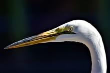 Portrait Of A Great White Egret