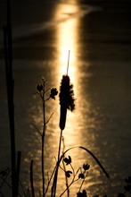 Silhouette Of Cattail And Grasses Against Setting Sun Reflecting On Pond
