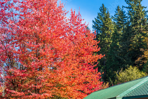 Fotografie, Obraz Abstract red Maple and green tree background in Vancouver, Canada