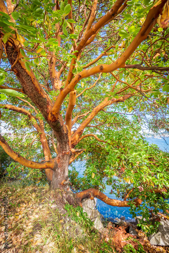 Abstract red Arbutus and green tree background in Vancouver, Canada Wallpaper Mural