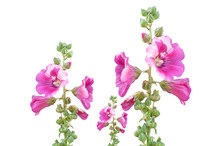 Pink Color Alcea, Hollyhock Flowers Isolated On White Background, Clipping Path Included