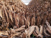 Secando Hojas De Tabaco