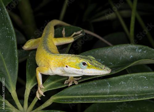Photo close up yellow anole lizard