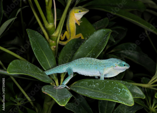 Fotografie, Tablou Yellow and blue anole lizard  on leaf