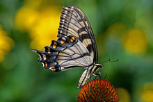 Papilio Glaucus Or Eastern Tiger Swallowtail On Echinacea Flower. The Butterfly Is A Swallowtail Butterfly Native To Eastern North America. Echinacea Is An Herbaceous Plant In The Daisy Family.