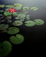 One Water Lily Flower Among Li...