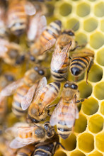 Honey Bees On A Beehive