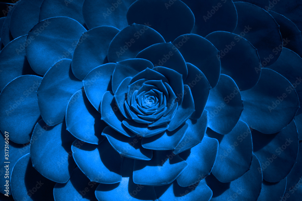 Fototapeta Trend color 2020 classic blue, top view, layout for design. Succulent plant flower in trendy blue color. Trendy color concept of the year, classic blue background. Decor houseplants.