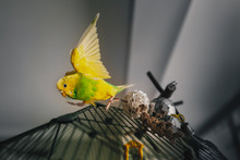 A Yellow And Green Budgerigar ...