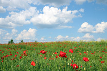 Meadow With Poppies Flowers An...