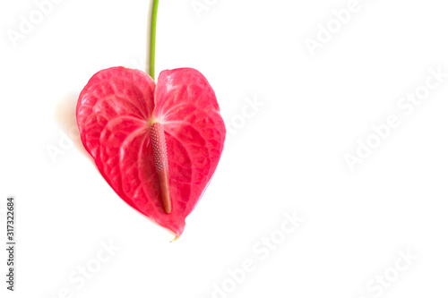 Photo Isolated pink anthurium flower on white background
