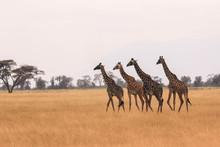 Giraffas En Kenia Cruzando Sab...