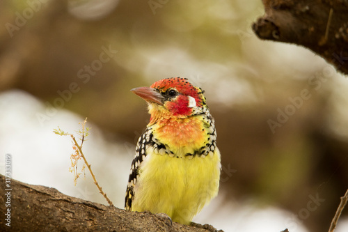 Fototapeta Uccello giallo e rosso