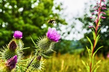 Scotland Nature Thistle Bee Photographer