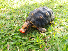 Young Red Footed Tortoise Sitt...