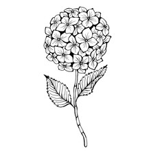 Hydrangea. Hand Drawn Vector Illustration. Monochrome Black And White Ink Sketch. Line Art. Isolated On White Background. Coloring Page.