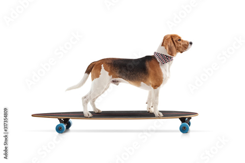 Profile shot of a beagle dog riding a skateboard Canvas Print