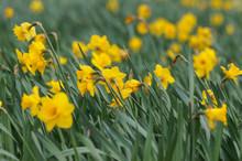 Field Of Yellow Blooming Daffo...