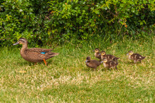 Richmond, Tasmania, Australia - December 13, 2009: Closeup Of Mother Brown Duck Walking On Green Grass And Green Foliage In Back Followed By 5 Chicks.