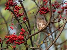 Eurasian Pygmy Owl (Glaucidium Passerinum) Among Red Rowan Berries, Autumn Entourage. Eurasian Pygmy Owl (Glaucidium Passerinum) Is The Smallest Owl In Europe.