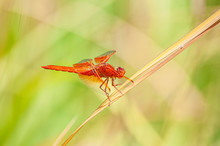 Red Or Flame Skimmer Libellula...
