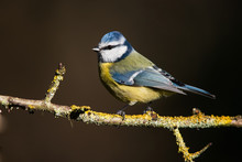 Blue Tit In His Environment. Her Latin Name Is Cyanistes Caeruleus.