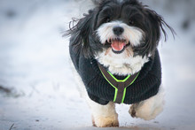 Happy Funny And Cute Dog Puppy Coton De Tulear Playing In Snow, Running And Looking Towards Camera